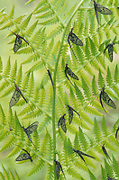Mayflies on a Fern (Ephemeroptera), North America.