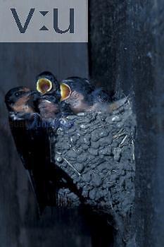 Barn Swallow ,Hirundo rustica,