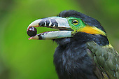 Spot-billed Toucanet (Selenidera maculirostris) feeding on palm fruit, Southeast Brazil.