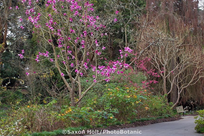Magnolia campbellii 'Darjeeling' flowering deciduous tree in San Francisco Botanical Garden
