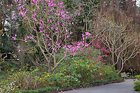 Magnolia campbellii 'Darjeeling' flowering deciduous tree in San Francisco Botanical Garden
