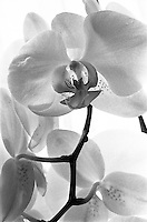 White Orchid, Suffolk 2012