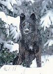 FB 246   Gray wolf in snow.  5x7 postcard