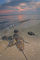 Horseshoe Crabs, mating & laying eggs, Kimble's Beach, New Jersey