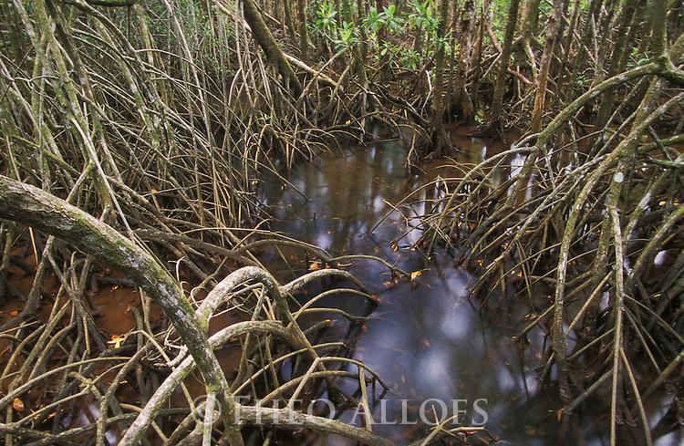 Australia, Queensland, Daintree National Park; Mangrove trees at high tide
