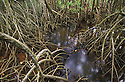 Australia, Queensland, Daintree National Park; Mangrove trees at high tide