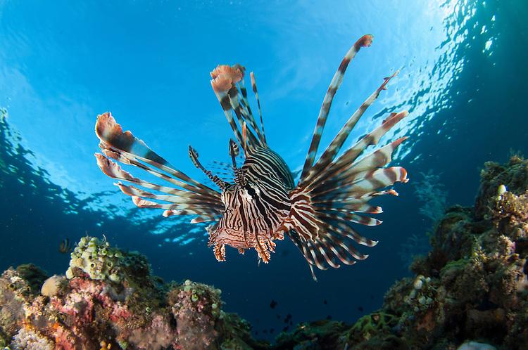 Common lionfish: Pterois volitans, facial view showing spines, Komodo National Park