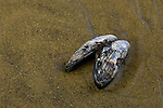 Mussell Shell on beach at Ecola State Park