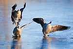 Canada Geese slipping on ice as they come in to land on a frozen pond in the Lee Metcalf Wildlife Refuge in western Montana