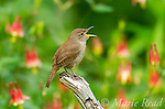House Wren (Troglodytes aedon), male singing, with Wild Columbines in the background, New York, USA