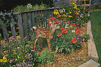 White tail deer fawn (Odocoileus virginianus) in flowere garden eating flowers Misssouri USA