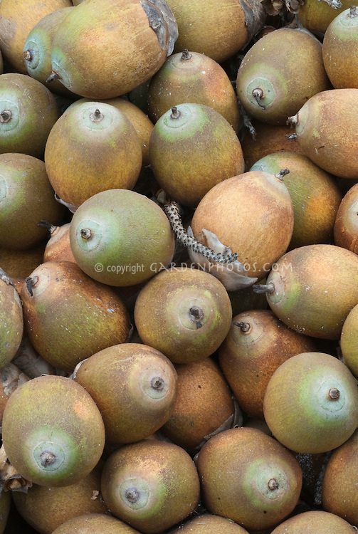 Sapodilla fruit Tropical Manilkara achras