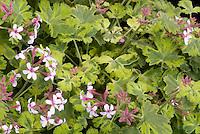 Pelargonium 'Creamy Nutmeg' scented geranium