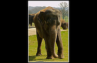 Asian Elephant (Elephas maximus) - Zoological Society of London - 2nd April 2005