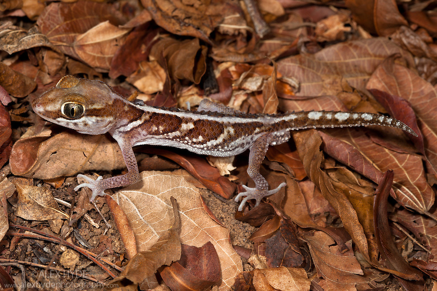 Big eyed / headed gecko {Paroedura pictus} on forest floor. Dry Deciduous Forest, Kirindy Forest, Western Madagascar. October.