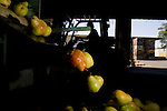 Rotting pears are culled at the Scully Packing Company in Finley, CA on Tuesday, September 12, 2006. The plant typically discards less than a truckload a season, while this season Ð due to a lack of laborers Ð they're discarding 4-6 truckloads per day. Stepped-up border enforcement has led to a shortage of migrant labor which has left much of the pear crop rotting on the tree and ground in Lake County.