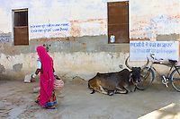 Indian woman carrying water pot past a bull lying by Hindu Temple in Narlai village in Rajasthan, Northern India