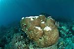 Bleaching hard boulder coral