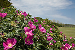 A clump of rugosa roses growing at the edge of a marsh in East Orleans.