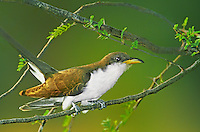513580001 a wild yellow-billed cuckoo coccyzus americanus perches in a mesquite tree on a ranch in the rio grande valley of south texas
