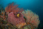 Colorful coral reef with soft and fan corals. Misool, Raja Ampat, West Papua, Indonesia, 11 January 2010
