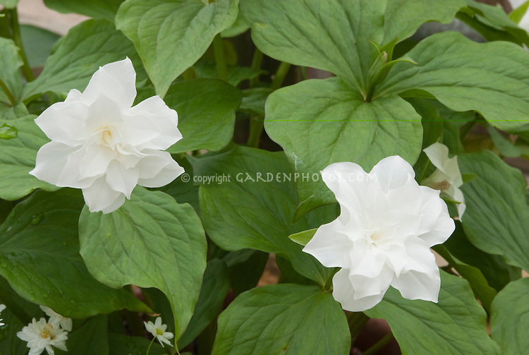 Trillium grandiflorum 'Flore Pleno' double flowered Trillium with white flowers in spring