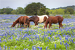 I was driving some backroads around Marble Falls, Texas, when I came across a lovely field of Texas bluebonnets. Much to my excitement, there were also horses grazing in this field. I quickly strapped on the telephoto lens and reeled off a few pictures of bluebonnets with horses. Later, the horses came so close, curious about me I guess, that I had to switch to a wide angle lens. It was a nice morning, for sure, thanks to the bluebonnets and the horses.
