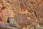 A bighorn sheep stands along the edge of a large rock among the volcanic tuff that comprises much of the Leslie Gulch rock formations in Southeast Oregon.