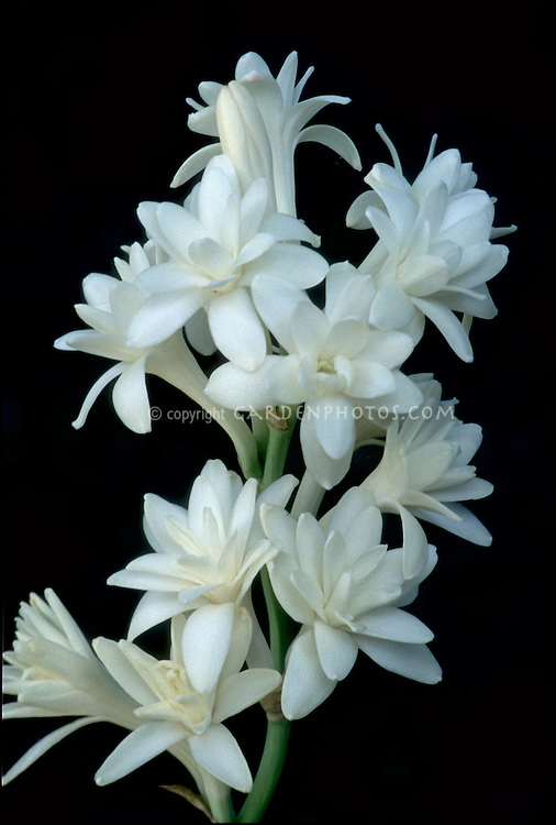 Polianthes tuberosa (Tuberose) 'The Pearl' closeup of blooms on black background