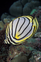 A boldy patterned Meyer's Butterflyfish, Chaetodon meyersi, meanders among hard corals. Similan Islands Marine National Park, Thailand, Andaman Sea