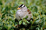 White-crowned Sparrow, California