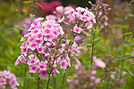 pale pink phlox with bright pink centers