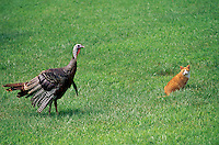 Wild turkey, Meleagris gallapavo, sneaking up on tiger cat sitting in grass of rural yard, Missouri, USA
