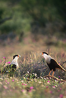 511587009 a pair of wild northern crested caracaras caracara cheriway stand in a field of wildflowers in the rio grande valley in south texas