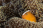 Anda, Bohol, Philippines; orange anemonefish living in a Merten's sea anemone