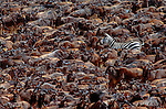 The lone Burchell's zebra engulfed by a sea of moving wildebeests in Kenya's Masai Mara National Reserve caught my attention. I waited for the confused zebra to turn into the herd, and I framed it off-center to add a sense of tension.