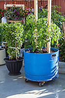 Healthy tomato and basil plants in large blue pastic tubs on wheels in an urban patio garden.ontainer garden