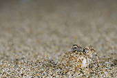 Wolf Spider (Arctosa perita) female with egg sac on seashore sand, Italy