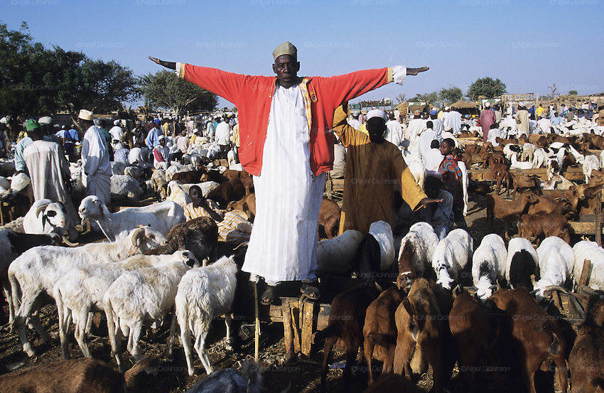 Husa farmer stands like Jesus Christ for a photograph. Sheep and cattle market during Ramadan after the Durbar Fantasia in Kano..The implementation of Islamic Sharia Law across the twelve northern states of Nigeria, centres upon Kano, the largest Muslim Husa city, under the feudal, political and economic rule of the Emir of Kano. Islamic Sharia Law is enforced by official state apparatus including military and police, Islamic schools and education, plus various volunteer Militia groups supported financially and politically by the Emir and other business and political bodies. Fanatical Islamic Sharia religious traditions  are enforced by the Hispah Sharia police. Deliquancy is controlled by the Vigilantes volunteer Militia. Activities such as Animist Pagan Voodoo ceremonies, playing music, drinking and gambling, normally outlawed under Sharia law exist as many parts of the rural and urban areas are controlled by local Mafia, ghetto gangs and rural hunters. The fight for control is never ending between the Emir, government forces, the Mafia and independent militias and gangs. This is fueled by rising petrol costs, and that 70% of the population live below the poverty line. Kano, Kano State, Northern Nigeria, Africa