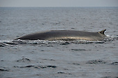 Stock Photo of a Fin Whale