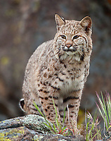 Bobcat sitting on a lichen covered rock - CA