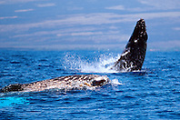 humpback whale calf breaching by mother, Megaptera novaeangliae, Big Island, Hawaii, Pacific Ocean