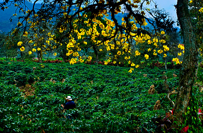 Coffee farmer in the Orosi Valley of Costa Rica inspects his coffee plants under a flowering Cortez amarillo tree.