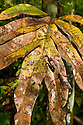 Dead Leaf Mantis (Deroplatys dessicata) camouflaged against vegetation. Danum Valley, Sabah, Borneo, Malaysia.