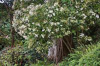 Montanoa grandiflora, Tree Daisy shrub flowering in San Francisco Botanical Garden