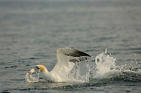 Northern Gannet catching a fish, Scotland, UK.