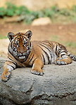 Indochinese Tiger sitting on rock. (captive)