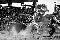 A rodeo clown dances with a bull, allowing its rider a safe exit from the ring.<br />