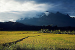 Rice paddies golden in the harvest season sit at the foot of Doi Chiang Dao, Thailand's highest limestone mountain at 2195 metres.  Chiang Dao, Chiang Mai, THAILAND