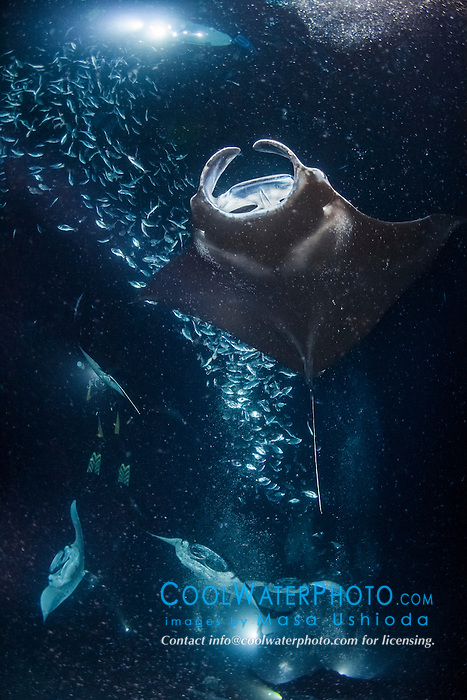 reef manta ray, Manta alfredi, feeding frenzy at night, funneling plankton gathered around divers' artificial lights, dive site: Manta Heaven, Kona Coast, Big Island, Hawaii, USA, Pacific Ocean